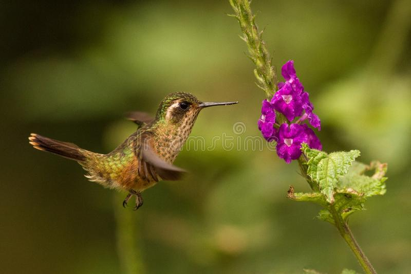 Speckled Hummingbird, Adelomyia melanogenys hovering next to violet flower, bird from tropical forest, Manu national park, Peru. Hummingbird perching on flower stock image