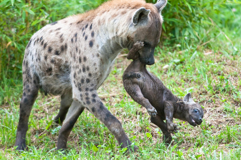 Speckled hyena με το κουτάβι στοκ εικόνες με δικαίωμα ελεύθερης χρήσης