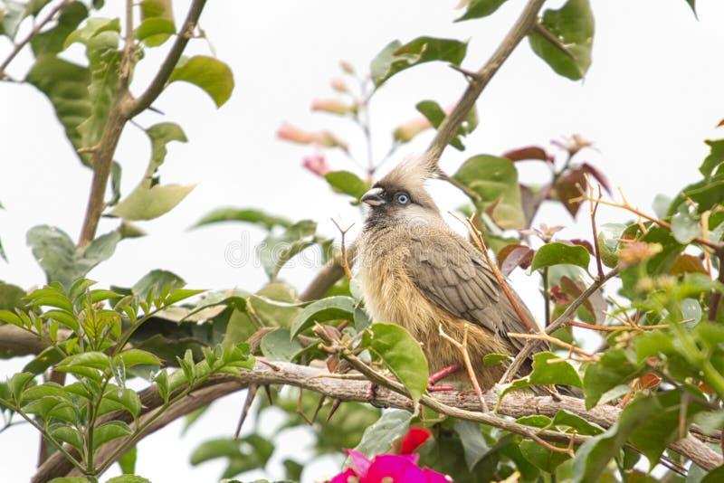 Download Speckled Mousebird stock photo. Image of wildlife, bird - 25590068