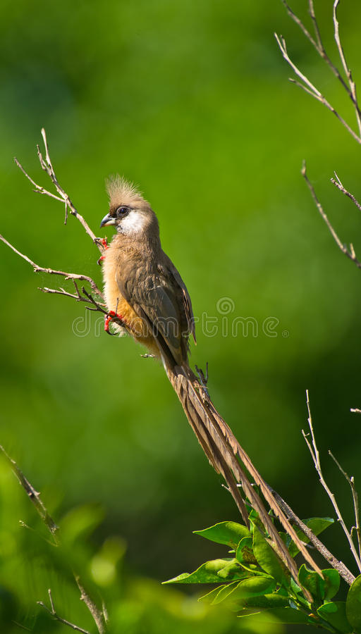 A Speckled Mousebird on a branch. A Speckled Mousebird holds on a branch in it´s characteristic way which resembles more the one of a bat than of a bird royalty free stock photos