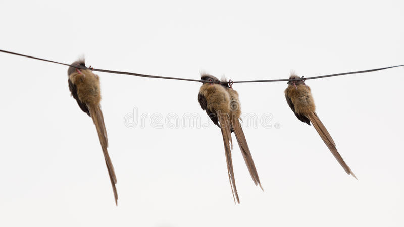 Hanging Pictures On Wire speckled mousebird hanging on wire royalty free stock photography