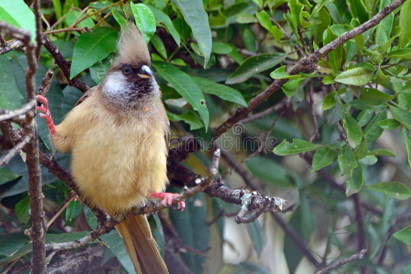 Download Speckled Mousebird, Maasai Mara Game Reserve, Kenya Stock Image - Image of elmenteita, bird: 68833361