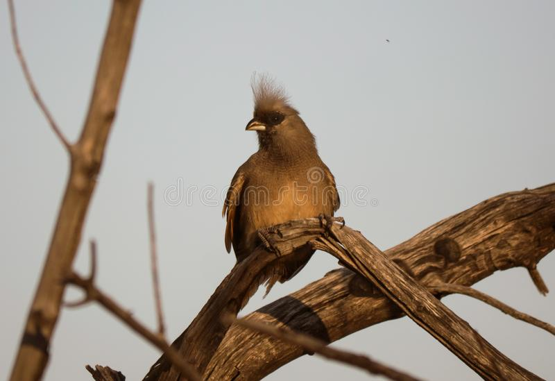 Speckled mousebird perched during sunset royalty free stock image