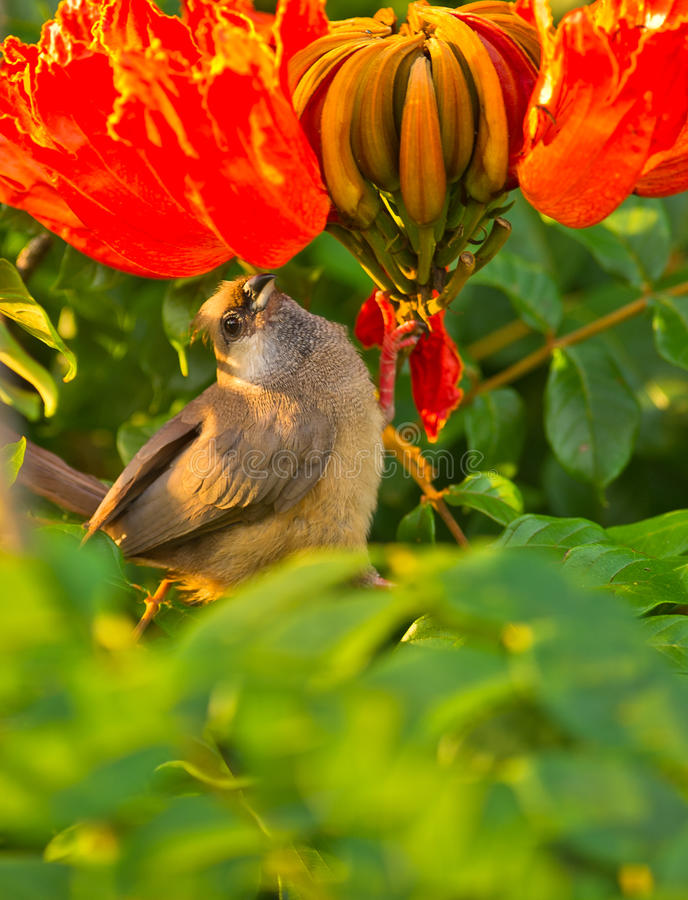 A Speckled Mousebird with a red flower. In a garden of Mombasa, Kenya a Speckled Mousebird looks for food surrounded by beautiful flowers stock photo