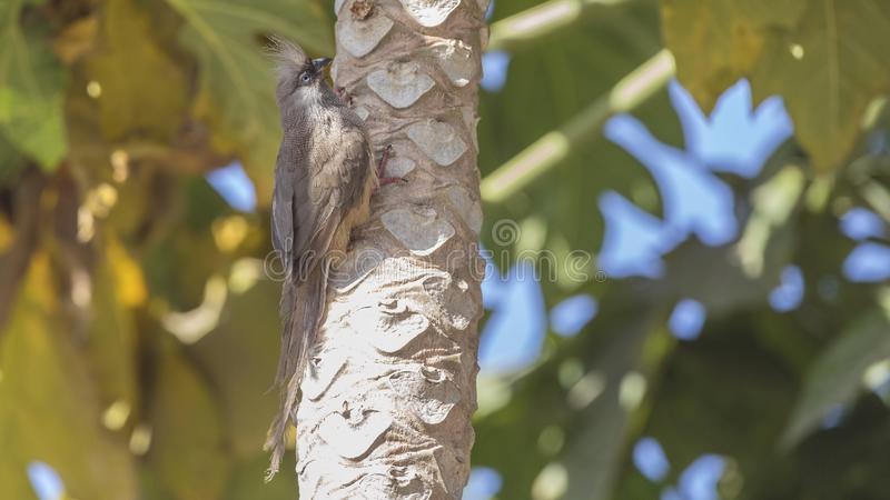 Speckled Mousebird on Trunk. Speckled mousebird, Colius striatus, is climbing tree trunk looking forward  in the center of Ziway city, Ethiopia, Africa royalty free stock photo