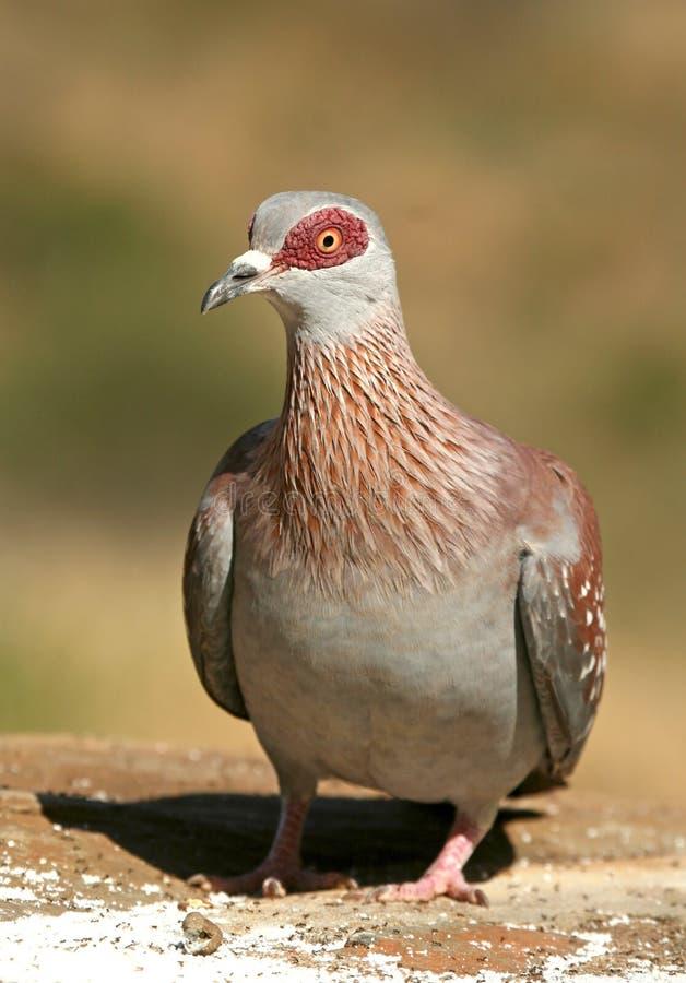 Speckled pigeon. (Columba guinea), Mpala Research Center, Laikipia, Kenya stock image