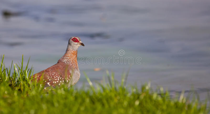 The Speckled Pigeon. Because of it´s colorful plumage, the Speckled Pigeon (Columba guinea) is one of the most appealing doves royalty free stock image