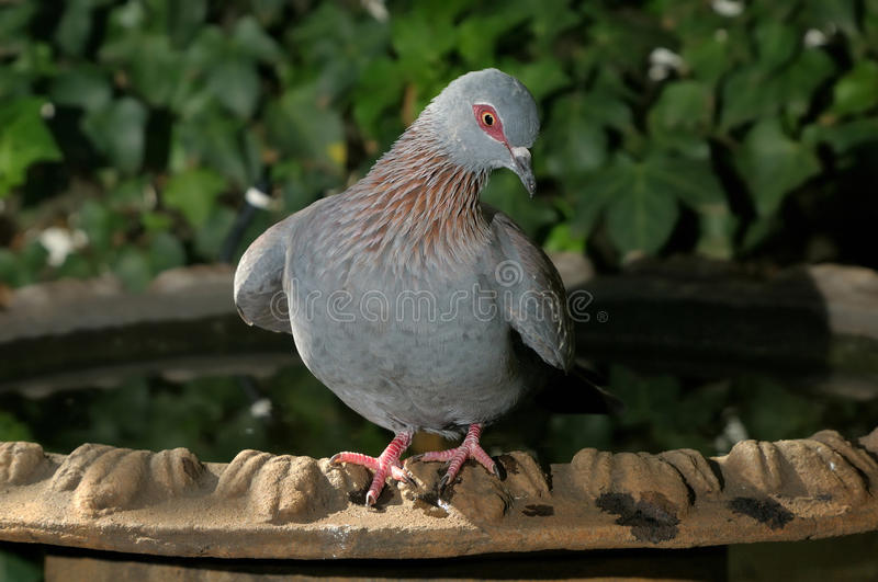 Speckled Pigeon. Columba guinea, in funny pose stock photos