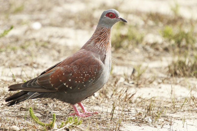 Speckled Pigeon. Columba guinea on the ground stock images