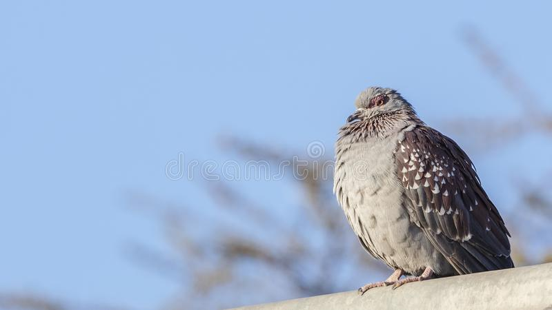 Speckled Pigeon on Roof. Speckled pigeon, Columba guinea, is perching on the roof of building at the entrance gate of Awash National Park, Awash, Ethiopia royalty free stock photography