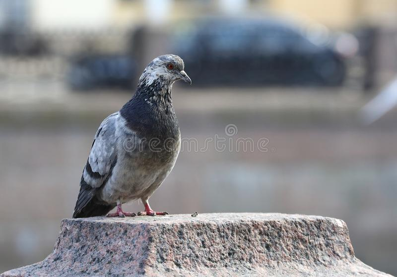 Speckled pigeon is sitting on the granite surface stock image