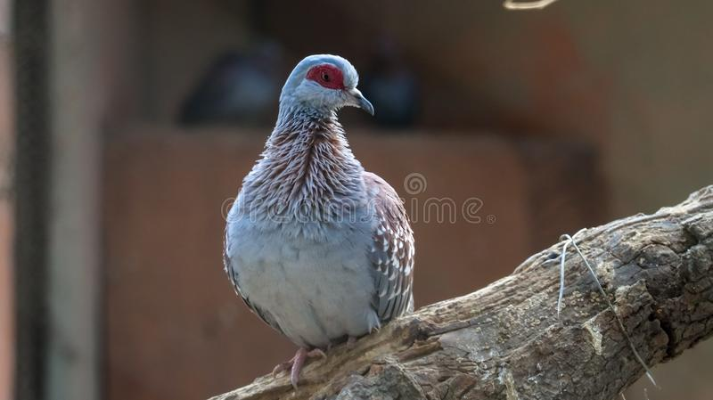 Speckled Pigeon. The speckled pigeon, or rock pigeon, is a pigeon that is a resident breeding bird in much of Africa south of the Sahara. It is a common and
