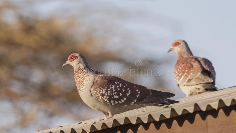 Speckled Pigeons on Roof. Pair of Speckled pigeons, Columba guinea, is wandering on the roof of building at the entrance gate of Awash National Park, Awash royalty free stock image