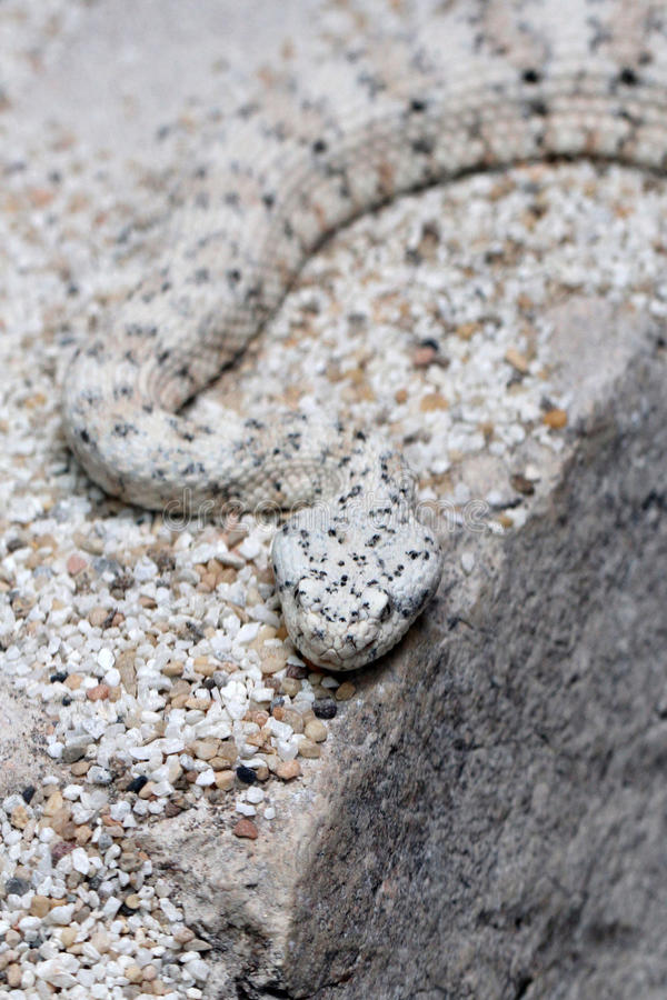 Speckled Rattel Snake. Camouflaged Gray, Black and White Rattler Crawling In Sand royalty free stock images