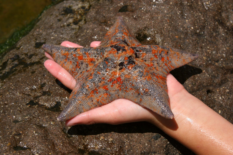 Speckled Starfish stock photography