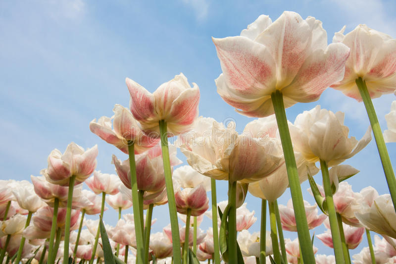 Speckled tulips in front of a blue sky. White and red speckled tulips in front of a light cloudy blue sky royalty free stock photography