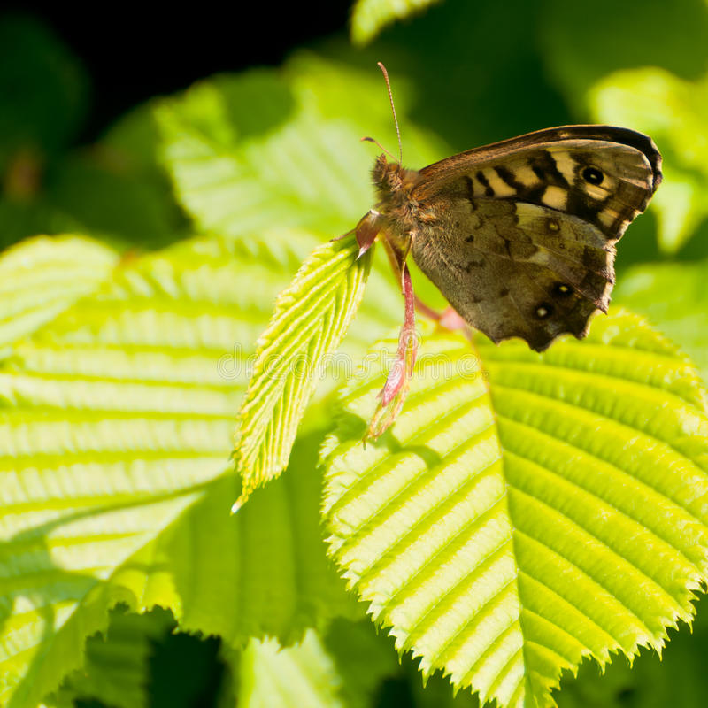 Speckled Wood. A speckled wood butterfly, sitting on a green leaf royalty free stock photography