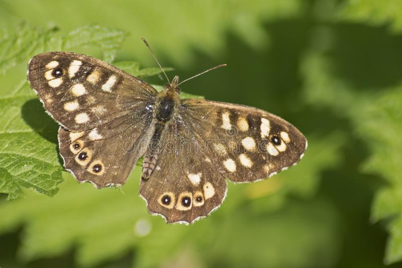 Download A Speckled Wood Butterfly On A Leaf Stock Image - Image of southampton, speckled: 115969987
