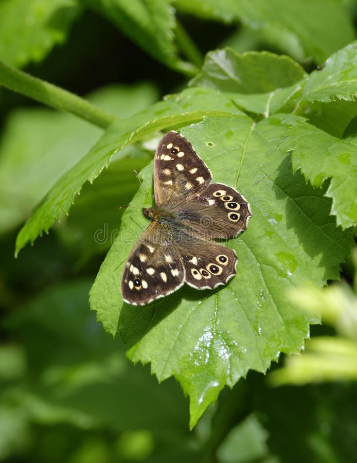 Speckled Wood. Butterfly - Parage aegeria wings open on leaf stock photos