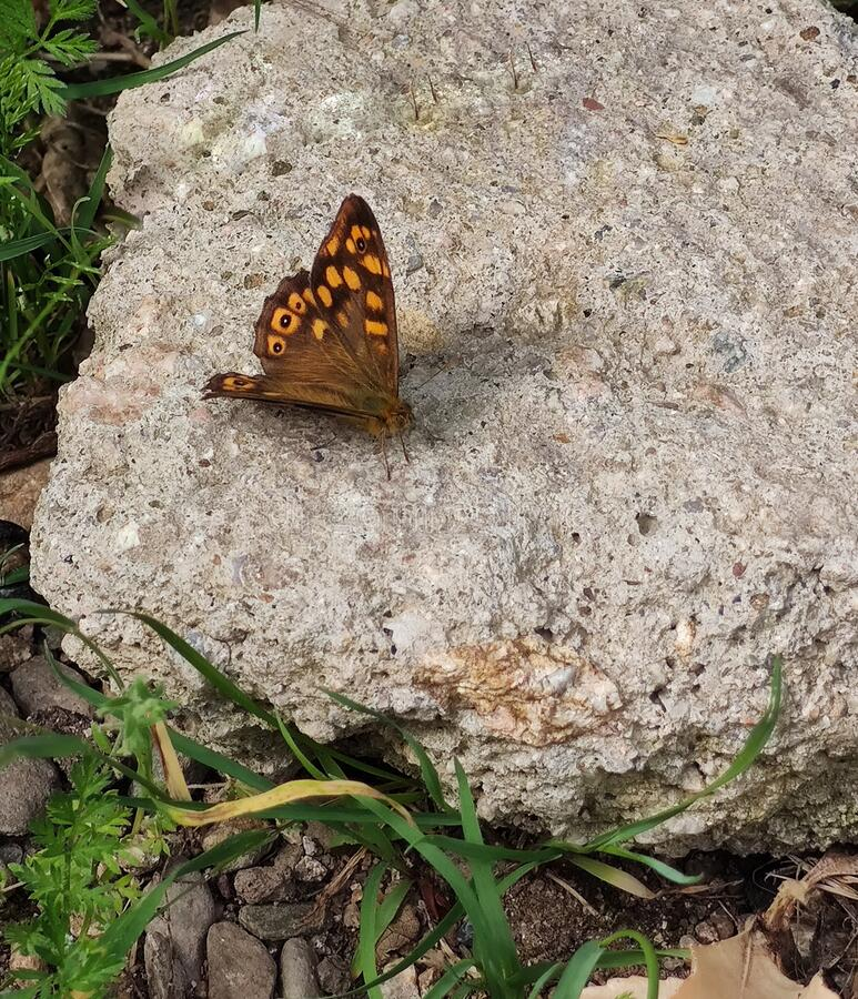 Speckled Wood butterfly on flat stone royalty free stock photos