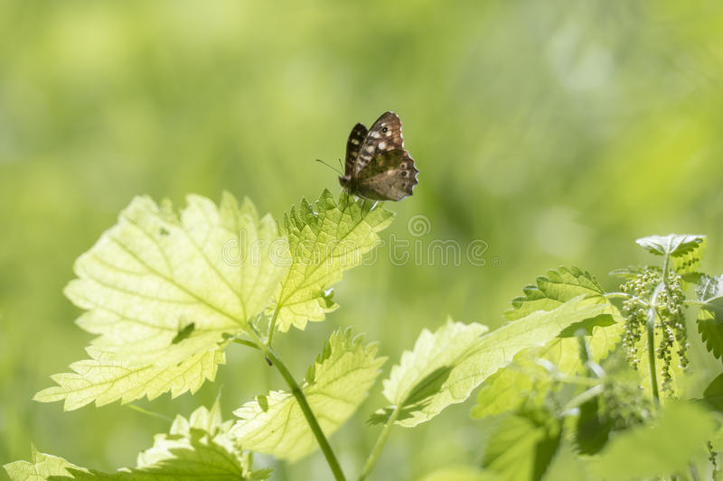 Speckled wood butterfly Pararge aegeria side view. Side view of a speckled wood butterfly, Pararge aegeria. Resting on a leaf in a forest with wings open stock image