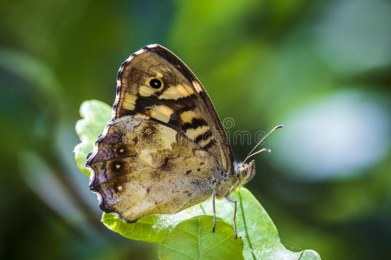 Speckled wood butterfly Pararge aegeria side view. Side view of a speckled wood butterfly, Pararge aegeria. Resting on a leaf in a forest with open wings stock images