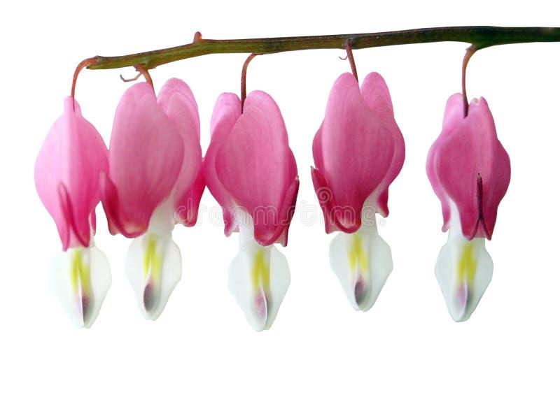 spectabillis dicentra στοκ φωτογραφία με δικαίωμα ελεύθερης χρήσης