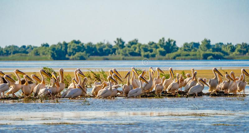 Spectacle familier de delta de Danube la colonie de pélican sur le lac fortuna photos stock