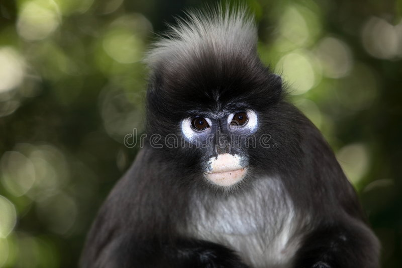 Spectacle Langur royalty free stock image