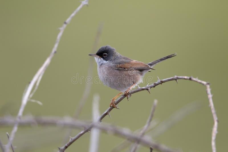Spectacled певчая птица, bella conspicillata Сильвии стоковое фото