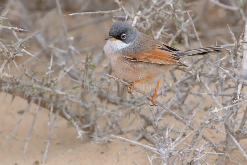 Spectacled певчая птица - conspicillata Сильвии стоковое фото