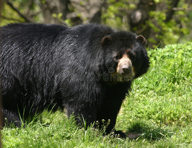 Spectacled Bär lizenzfreie stockfotografie
