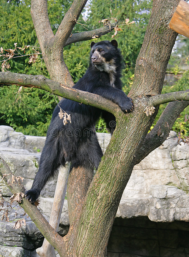Free Spectacled Bear 12 Stock Photo - 1633400