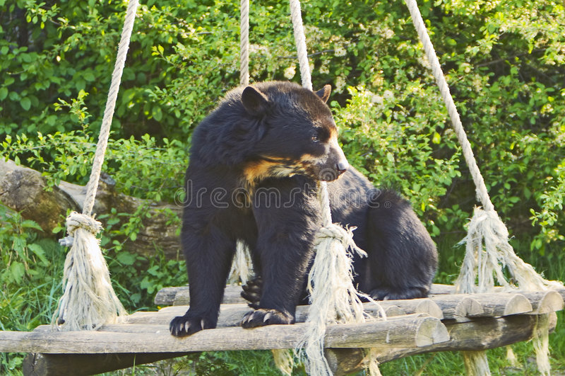 spectacled björn arkivbilder
