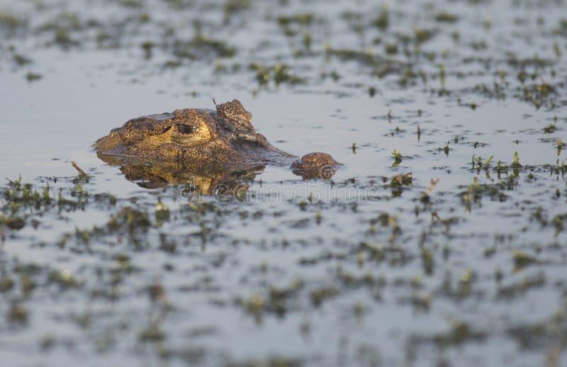 Spectacled caiman в Панаме стоковая фотография