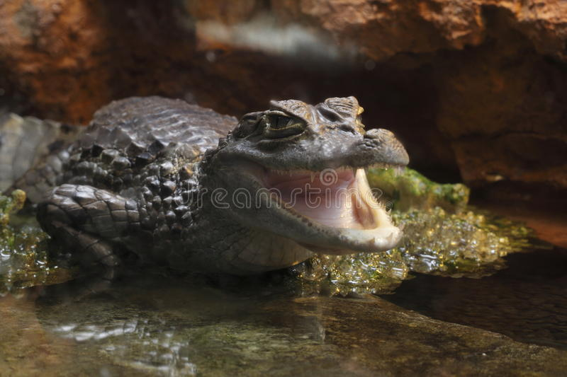 Spectacled caiman stock images