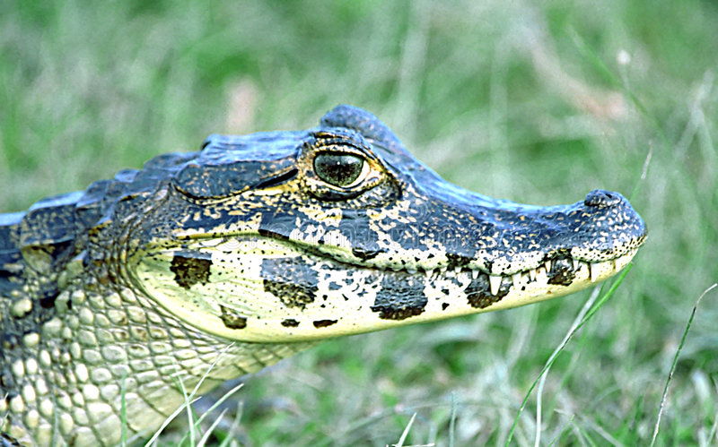 Spectacled Caiman. A head shot of a Caiman in some grasses in the Pantanal, Brazil. Babies sometimes end up as pets