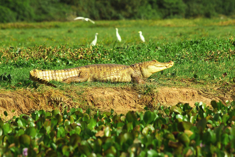 Spectacled caiman on a bank in wetlands royalty free stock photo
