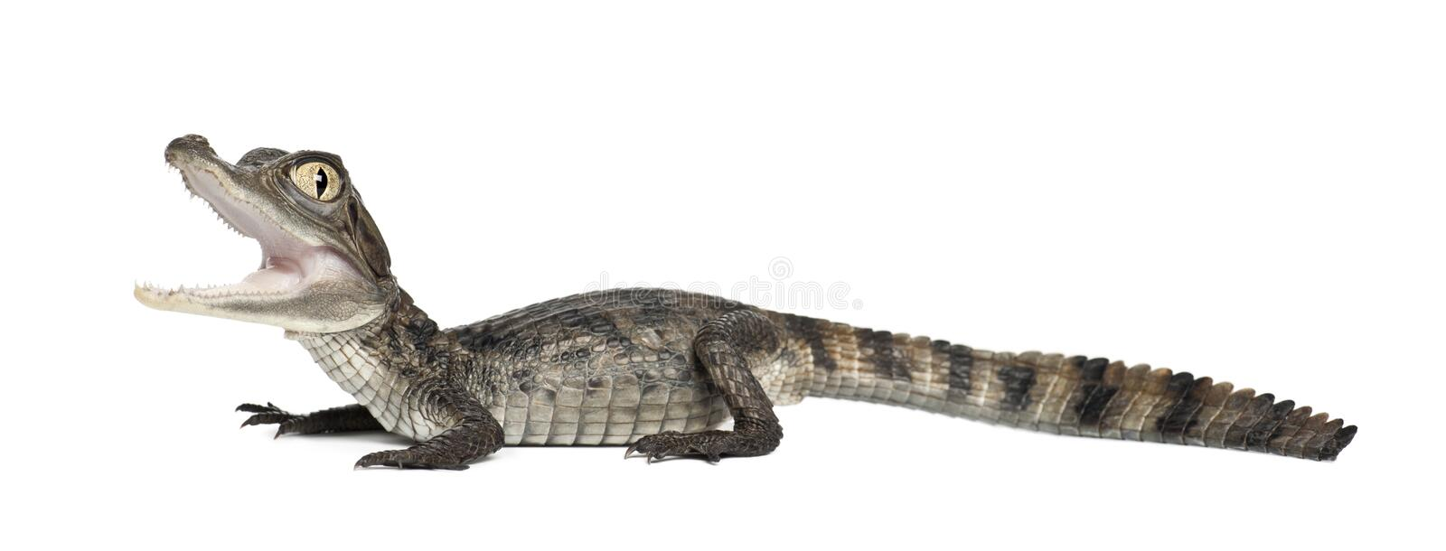 Spectacled Caiman, Caiman crocodilus royalty free stock photography