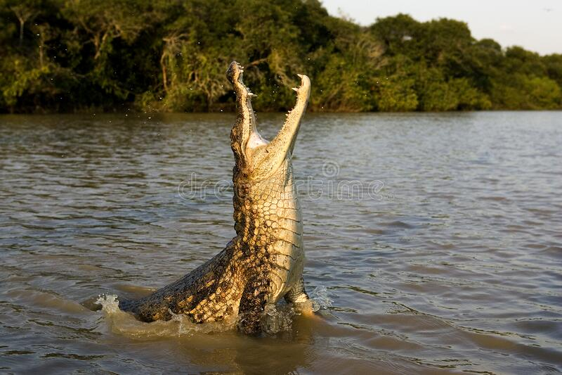 SPECTACLED CAIMAN caiman crocodilus stock photography