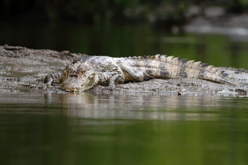 Spectacled Caiman - crocodilus Caiman лежа на речном береге в негре Cano, Коста-Рика, большом гаде в awamp, crocodille конца-ввер стоковая фотография