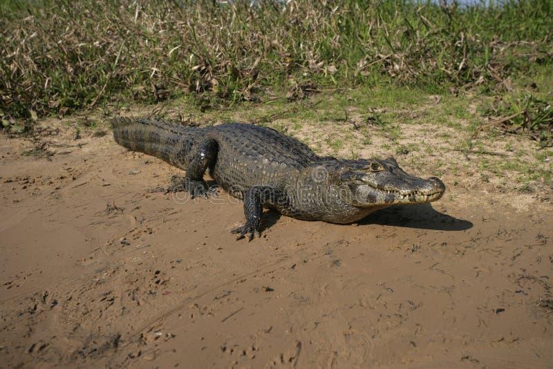 Spectacled caiman, crocodilus Caiman стоковое изображение