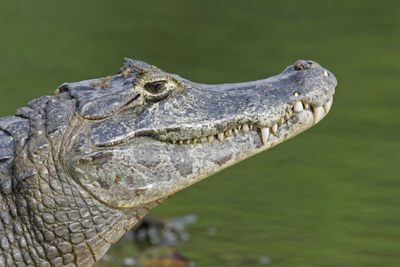 Spectacled caiman, crocodilus Caiman, стоковые изображения