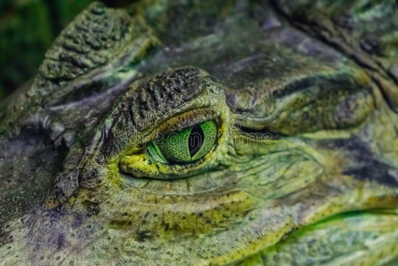 Spectacled caiman Caiman crocodilus stock photo