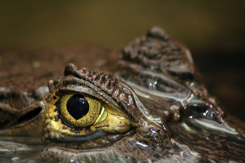 Spectacled Caiman's Eye. Shot of eye of partially submerged sub-adult caiman. Spectacled Caiman also known as Common Caiman or Caiman crocodilus stock photography