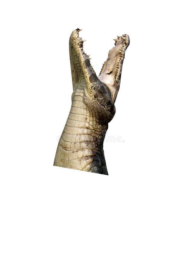 spectacled caimancrocodilus royaltyfri foto