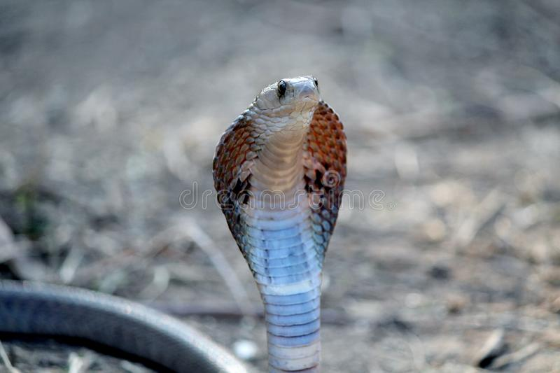 Indian cobra venom snake wallpaper. Spectacled cobra with hood lowered in a bamboo shrub. The Indian cobra is one of the Big four snakes of South Asia mostly royalty free stock photos