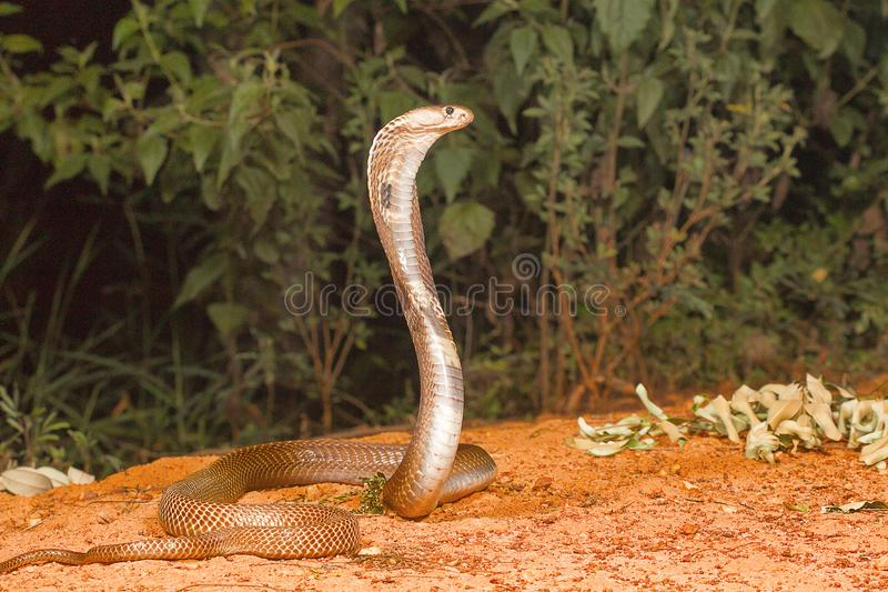 Spectacled cobra, Naja naja, Bangalore, Karnataka. The Indian cobra is one the big four venomous species that inflict the most snakebites on humans in India stock photography