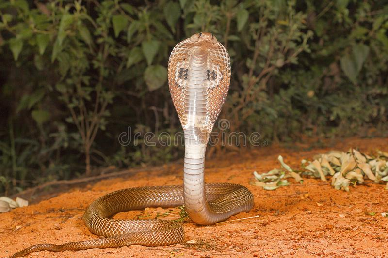 Spectacled cobra, Naja naja, Bangalore, Karnataka. The Indian cobra is one the big four venomous species that inflict the most snakebites on humans in India royalty free stock image