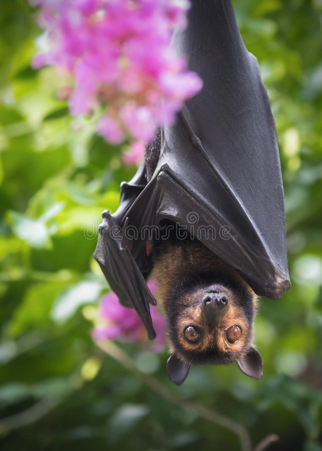 Spectacled Flying Fox Bat with Crepe Myrtle royalty free stock image